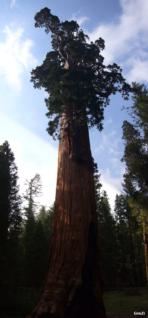 Sequoia Park - Kings canyon - Californie | Séquoia Géant