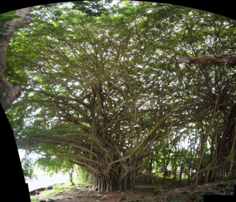 Hawaii: Sprawling Tree