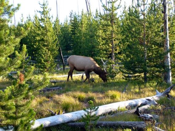 Yellowstone - Faune