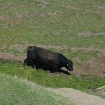 Sunol Regional Wilderness – Canyon View Trail - Cow