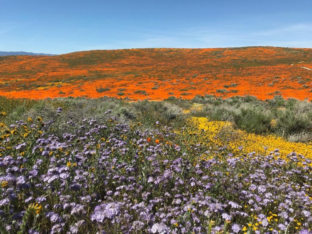 California Super Bloom - Antelope Valley California Poppy Reserve