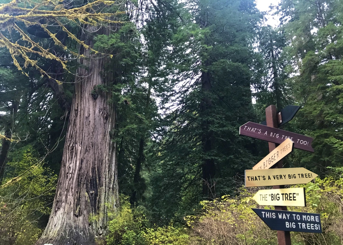 Redwood National And State Parks - The Big Tree